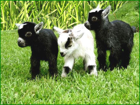 Three pygmy goats