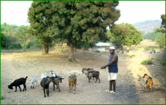 Herd of pygmy goats in Africa.