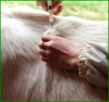 How to give a vaccination to a pygmy goat
