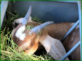 Pygmy goat eating alfalfa