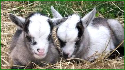 Scientists Have Learned That Pygmy Goat Mothers An Instinctive Drive To Protect Their Babies And The Group They Belong